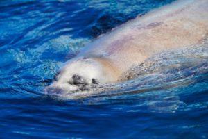泳ぐゴマアザラシ