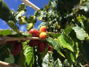 木に生ったコーヒーの実