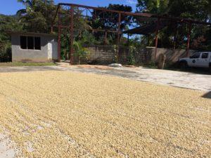 コンクリートに敷き詰められたコーヒーの種