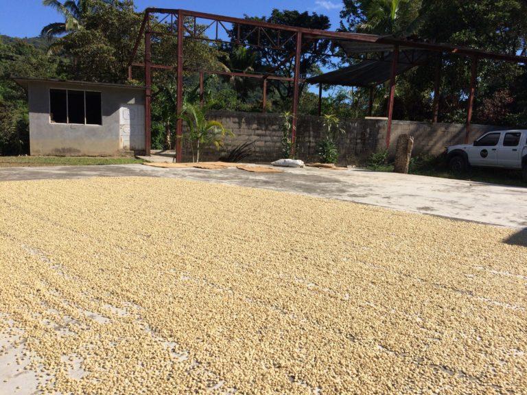 コーヒーの種を干している様子