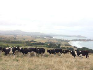 草原とたくさんの牛